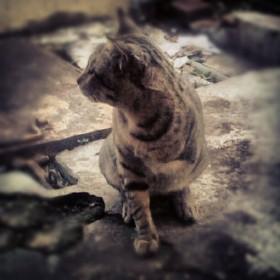 three-legged-cat